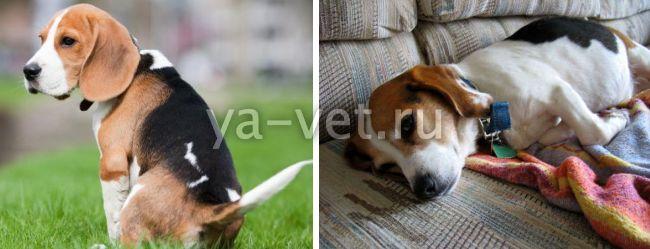 колит у собаки симптомы и лечение