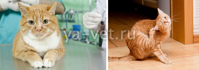 коронавирус гастроэнтерит у кошек