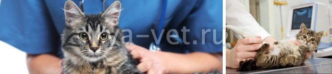 короновирусный гастроэнтерит у кошек лечение