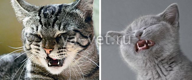 почему кот кашляет и чихает