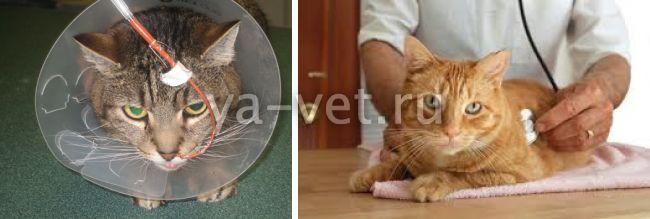 липидоз печени у кошек симптомы и лечение