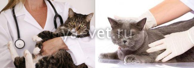 лямблии у кошек симптомы лечение