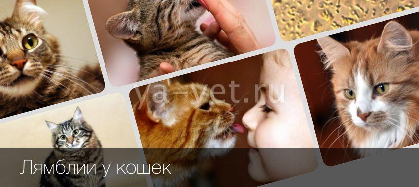 Лямблиоз у кошек и котов
