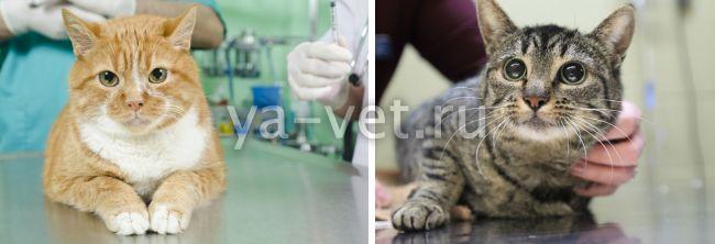 лямблиоз у кошек симптомы лечение
