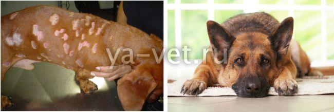 малассезия у собак лечение