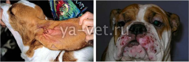 малацезия у собак