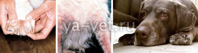 Как лечить малассезия у собак 175