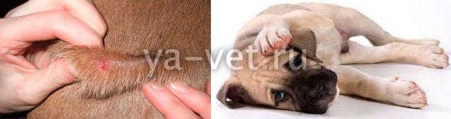 малассезия у собак