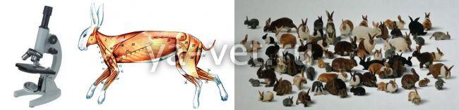 микоплазмоз у кроликов симптомы и лечение