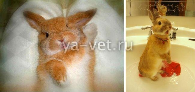 микоплазмоз у кроликов симптомы