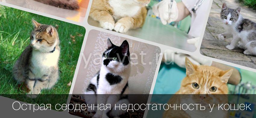 Сердечно сосудистая недостаточность у кошек
