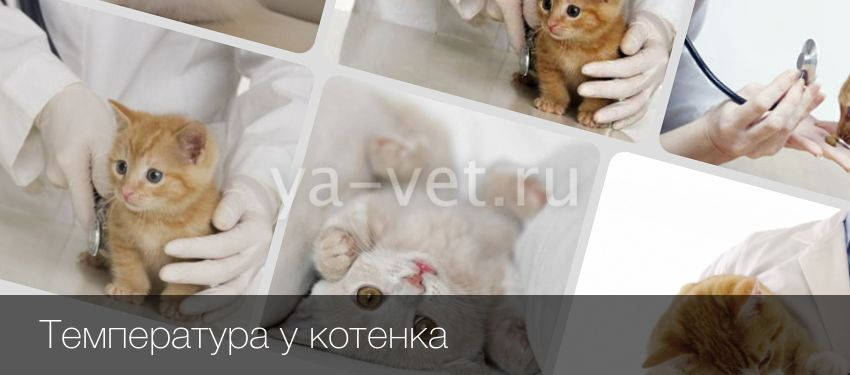 Высокая температура у кошек - симптомы, лечение и причины появления