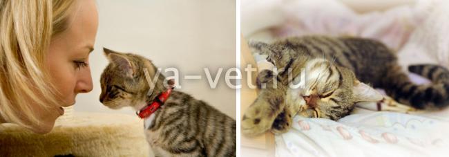 нотоэдроз у кошек симптомы лечение