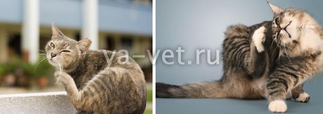 нотоэдроз у кошек лечение