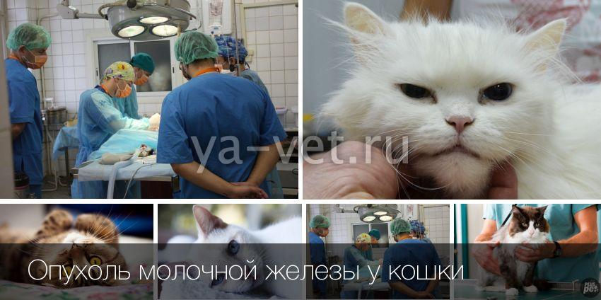 Что делать если у кошки рак молочной железы