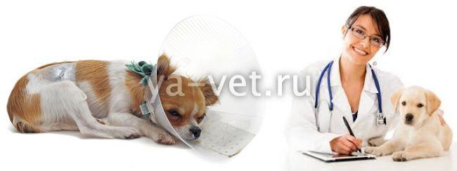 Осложнения после стерилизации у собак