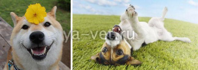 отодектоз у собак что делать