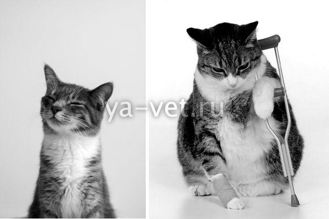 перелом шейки бедра у кошки лечение