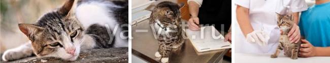 перитонит у кошек симптомы