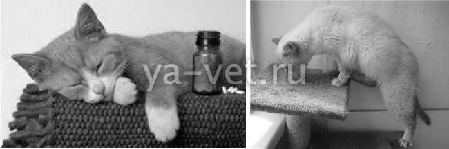 перитонит у кота