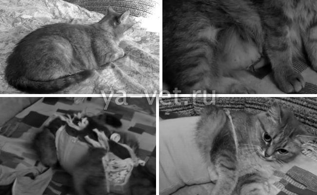 пиометра у кошки симптомы