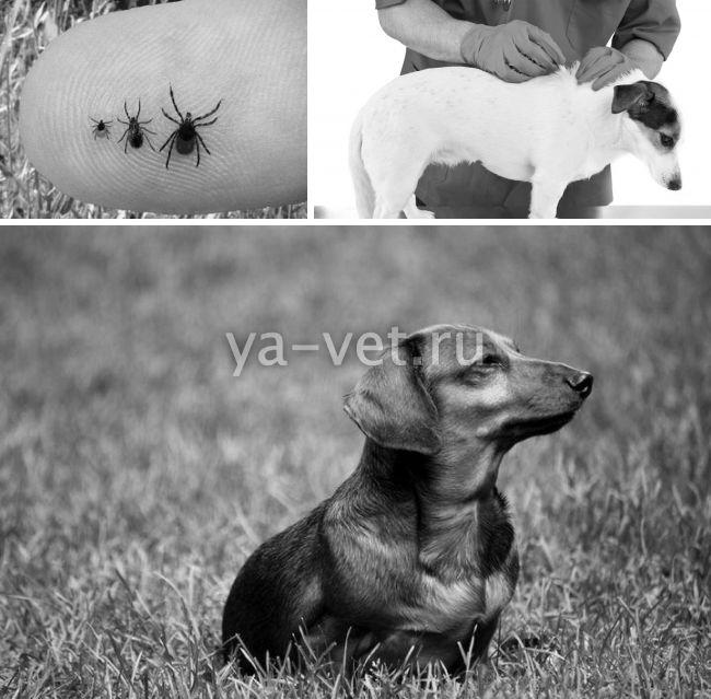 пироплазмоз бабезиоз у собак