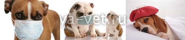 воспаление легких у собак симптомы и лечение