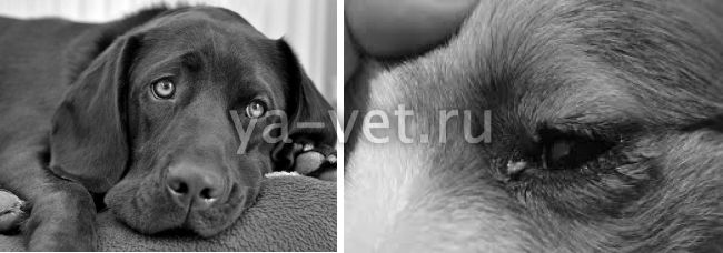 почему у собаки текут глаза