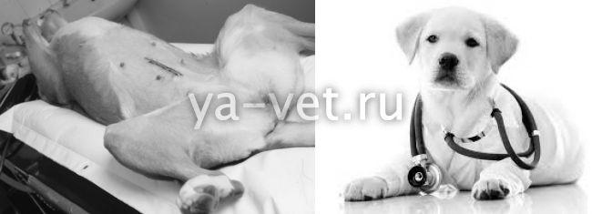 последствия после стерилизации собаки