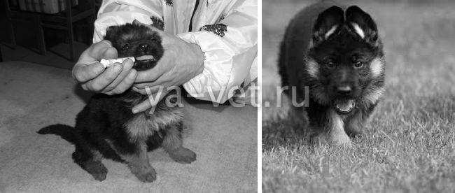 прививки щенкам немецкой овчарки график