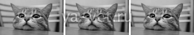 рак молочной железы у кошек последняя стадия