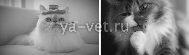 рак молочной железы у кошки течение болезни