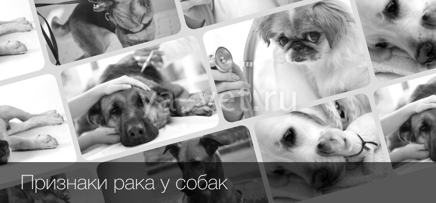 Рак у собак: симптомы и лечение