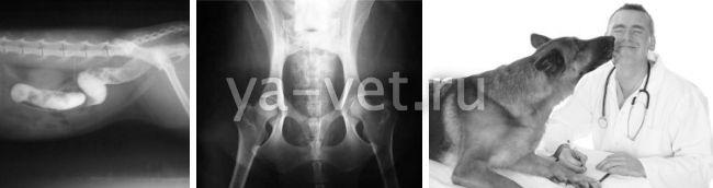 рентген собаке стоимость