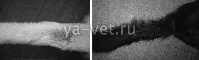 сальный хвост у кота лечение