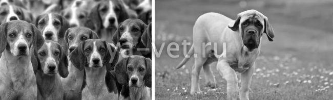 саркома у собаки