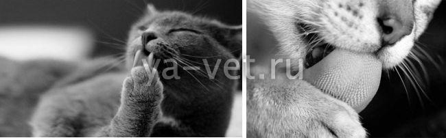 шерсть в желудке у кошки симптомы