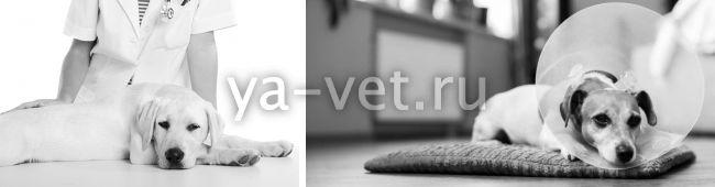 швы у собаки после стерилизации