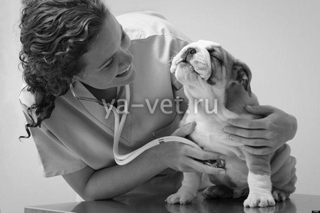 симптомы болезни печени у собак