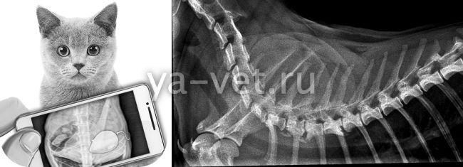 сколько стоит рентген для кошки