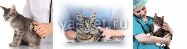 стерилизация кошек: когда лучше делать