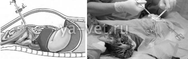 стерилизация кошек возраст