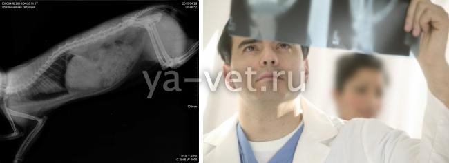 стоимость рентгена для животных