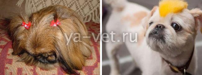 стрижка пекинеса под щенка