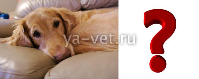 токсоплазмоз у собак