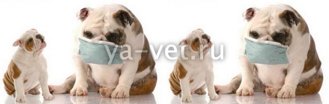 токсоплазмоз у собаки симптомы