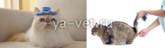 Как сбить температуру кошке