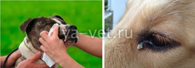 у собаки текут глаза что делать