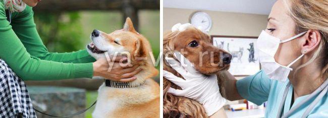 у стерилизованной собаки кровянистые выделения из петли