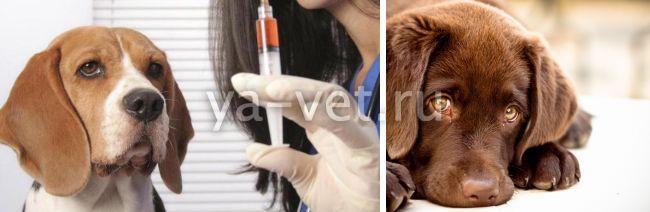 у стерилизованной собаки выделения из петли